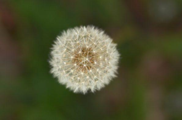 Fleur de pissenlit - photo de plante sauvage à télécharger • Creative Lune