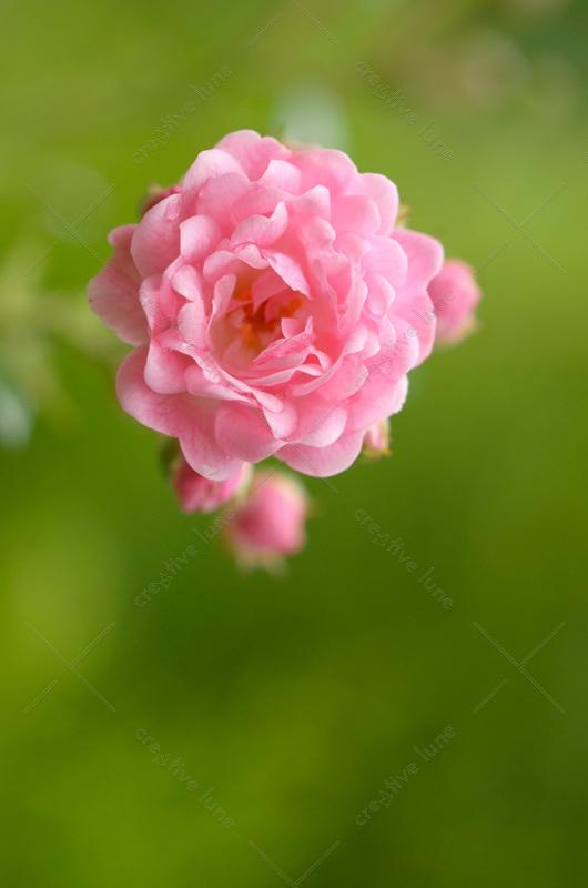 Creative Lune • photo de rose à télécharger